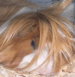 Et af de langhårede marsvin - disse har brug for særlig hårpleje.