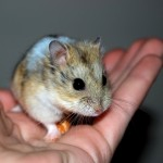 Hamsterunge