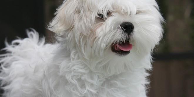 Selskabshunde