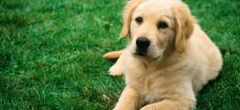 hund med meget pels
