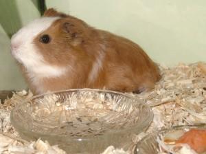 Gode, tunge foderskåle er vigtig i et marsvinebur - her en glasskål, men også en dybere tallerken kan bruges.