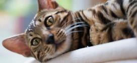 Hvordan kan en kat spinde og hvorfor gør den det?
