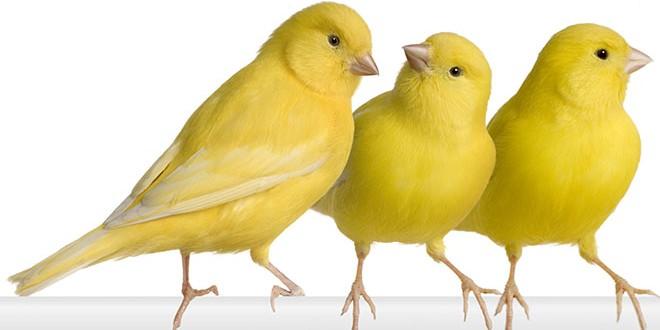 Kanariefugl